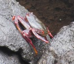 Crab in rockpoo