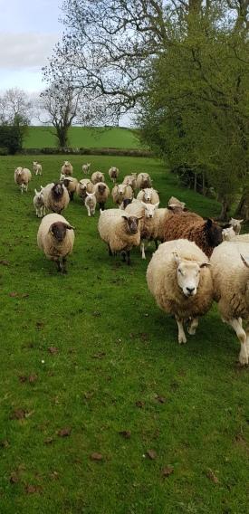 Scary sheep of Trelawnyd