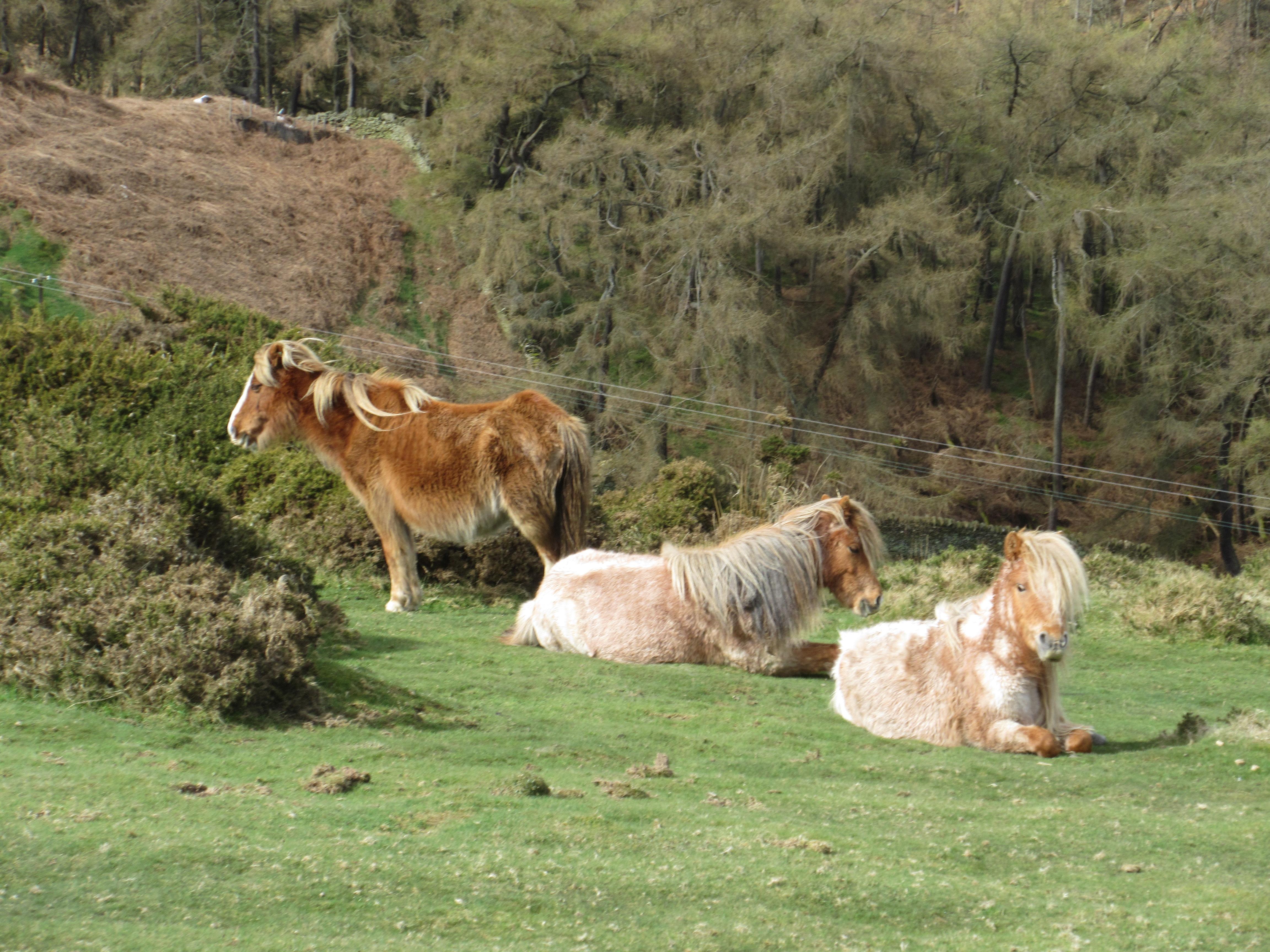 Wild horses Conwy